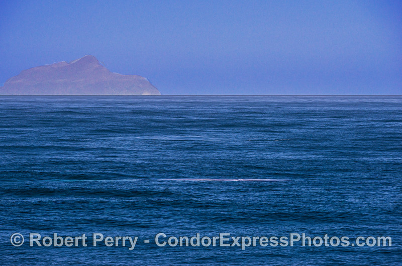 A bright blue streak in the water signifies the location of a giant blue whale.  Anacapa Island is in the background.