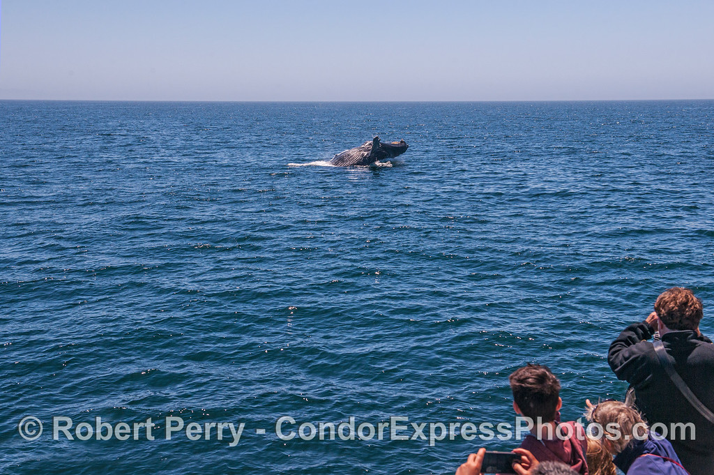 A humpback whale is shown at the end of its breach with fans looking on