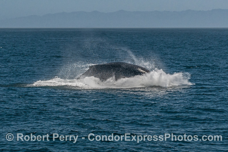 7- A series of 8 images in a row showing a breaching humpback whale sequence.