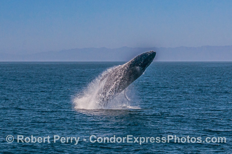 3- A series of 8 images in a row showing a breaching humpback whale sequence.