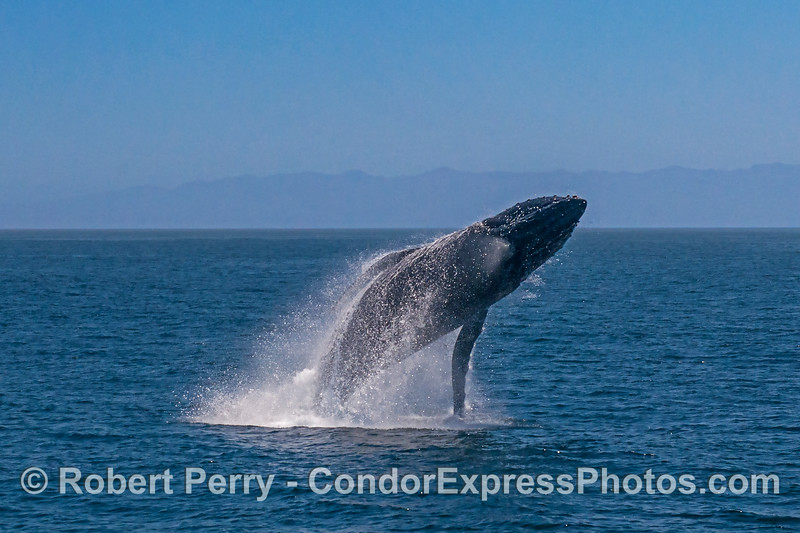 4- A series of 8 images in a row showing a breaching humpback whale sequence.