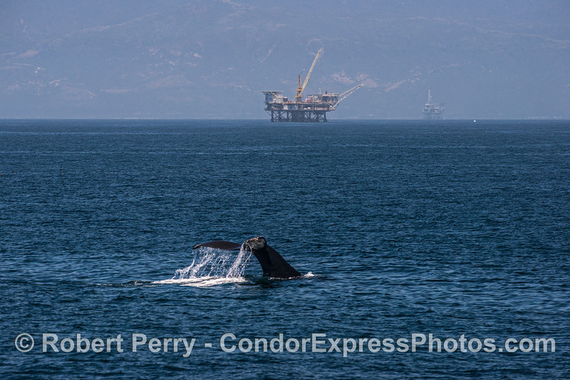 Humpback whale tail flukes with offshore oil platform Habitat in back.