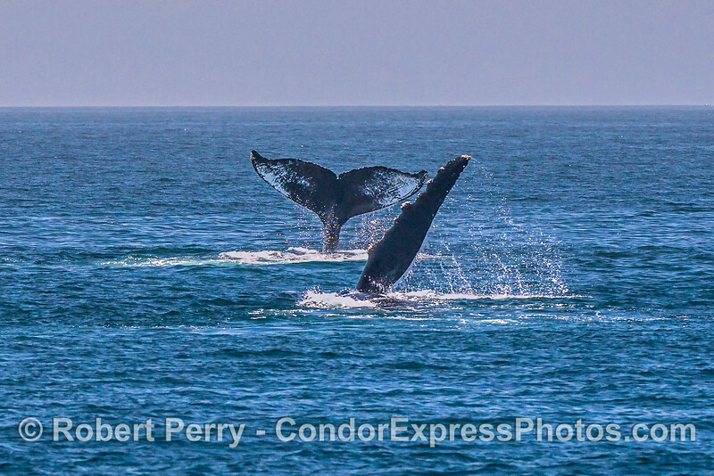 Two humpback whales, one tail fluking and the other pect-slapping