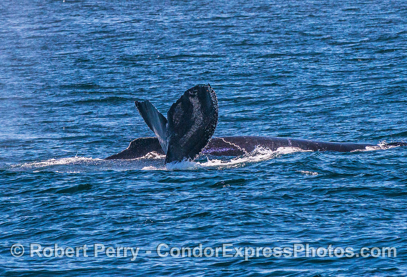 Two humpback whales, one diving and showing its tail.