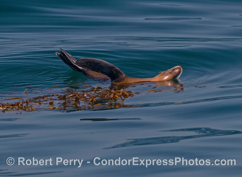 A sunny day for relaxing in a drifting giant kelp paddy - California sea lion.