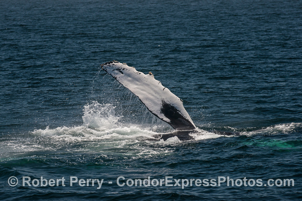 A waving pectoral fin of a fin-slapping humpback whale.