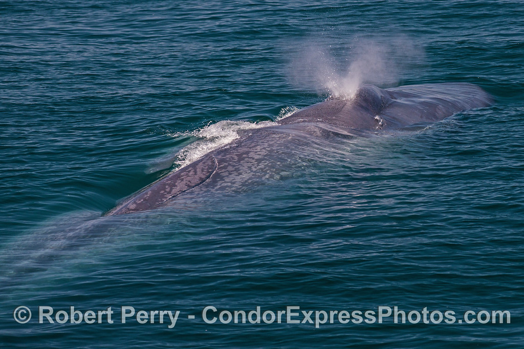 Dual exhaust pipes - giant blue whale