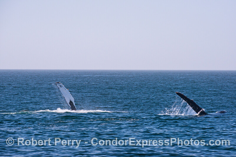Two humpback whales wave their pectoral fins as they simultaneously slap the water repeatedly