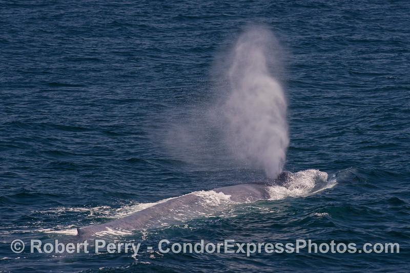 A giant blue whale's spout
