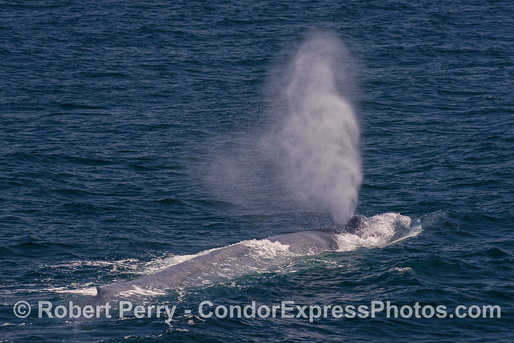 A giant blue whale's spout