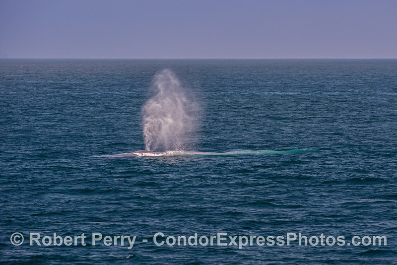 Light breeze and a tall spout - giant blue whale.