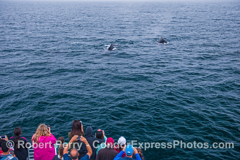Two friendly humpback whales make a close approach to visit their fans.