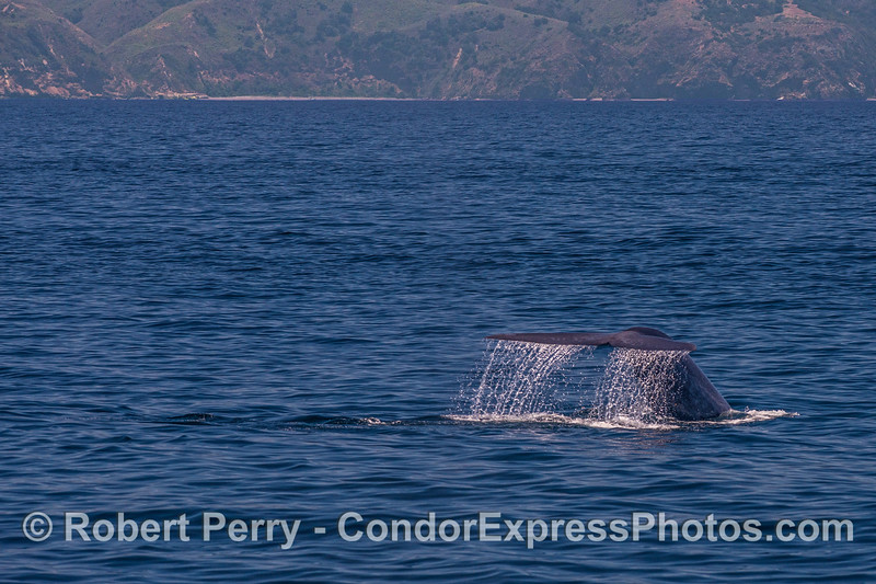 A giant blue whale tail creates a nice waterfall near Santa Cruz Island.