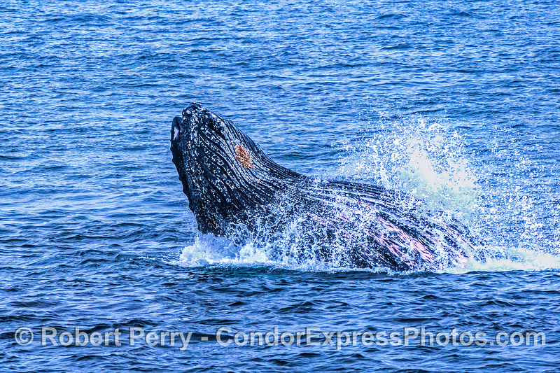 Image 1 of 3 in a row:  Another surface lunge-feeding humpback whale.