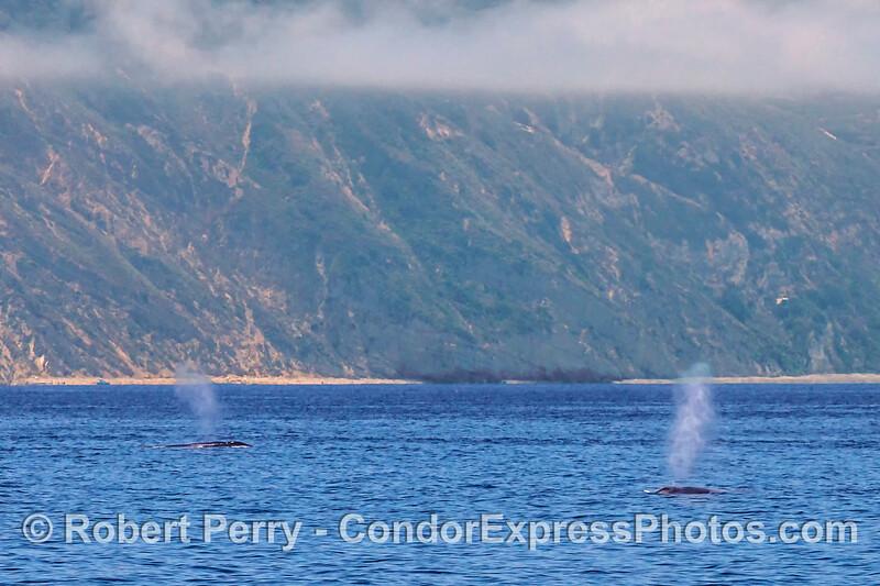 Twin giant blue whale spouts near Santa Cruz Island.