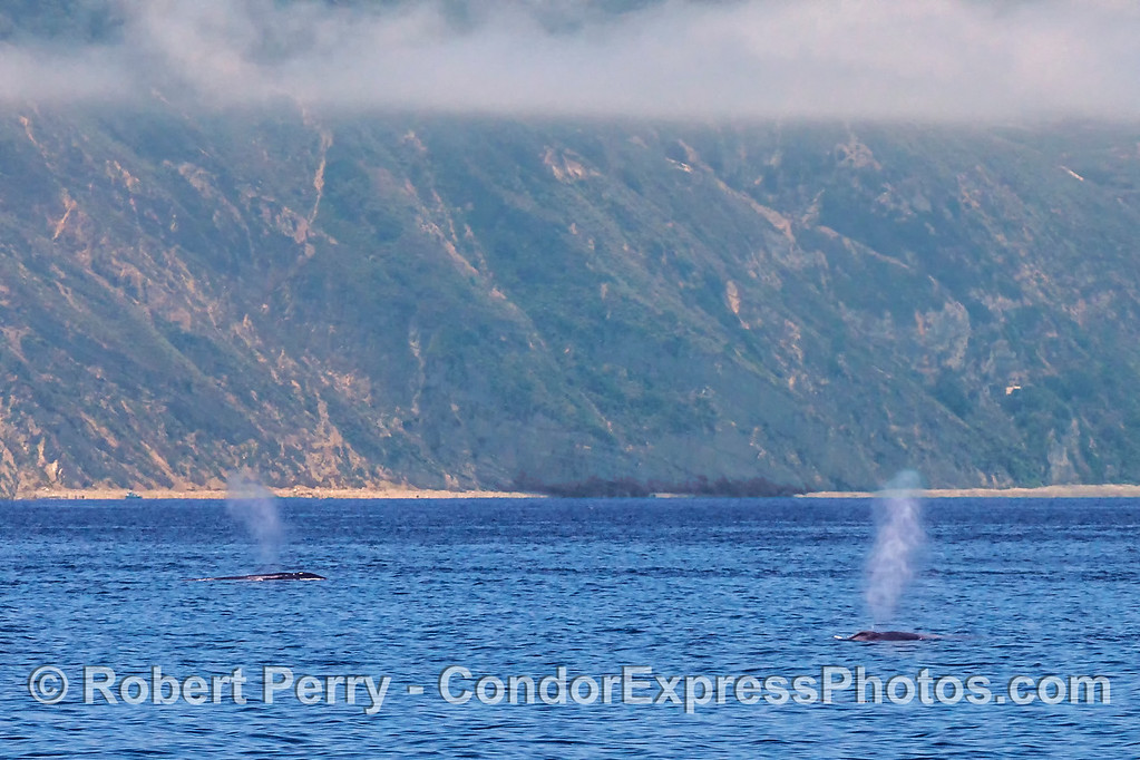 Twin giant blue whale spouts near Santa Cruz Island.