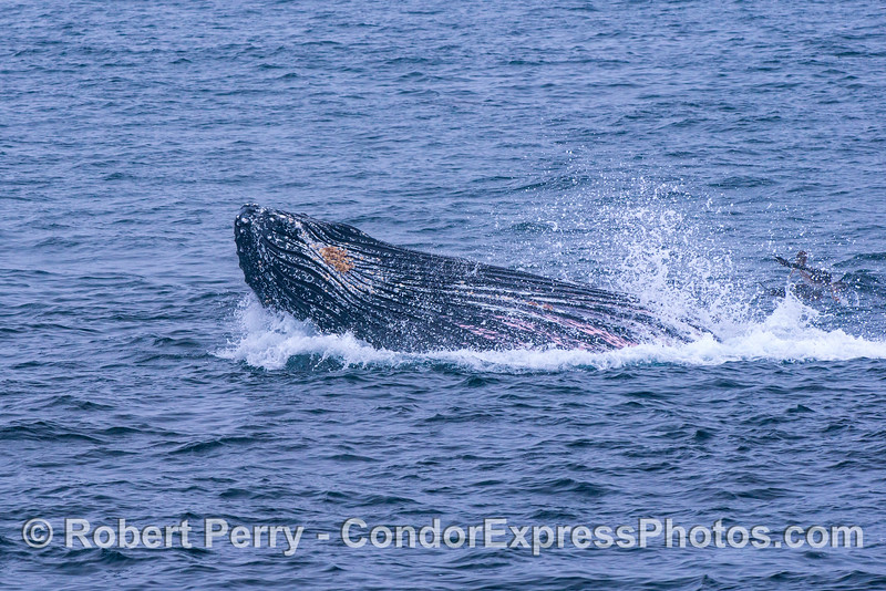 Image 3 of 3 in a row:  Another surface lunge-feeding humpback whale.