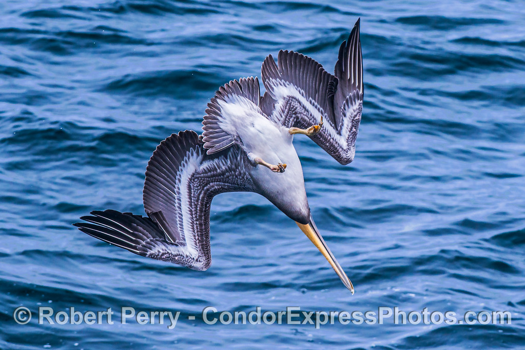 Image 2 of 3 in a row:  a crash-diving pelican