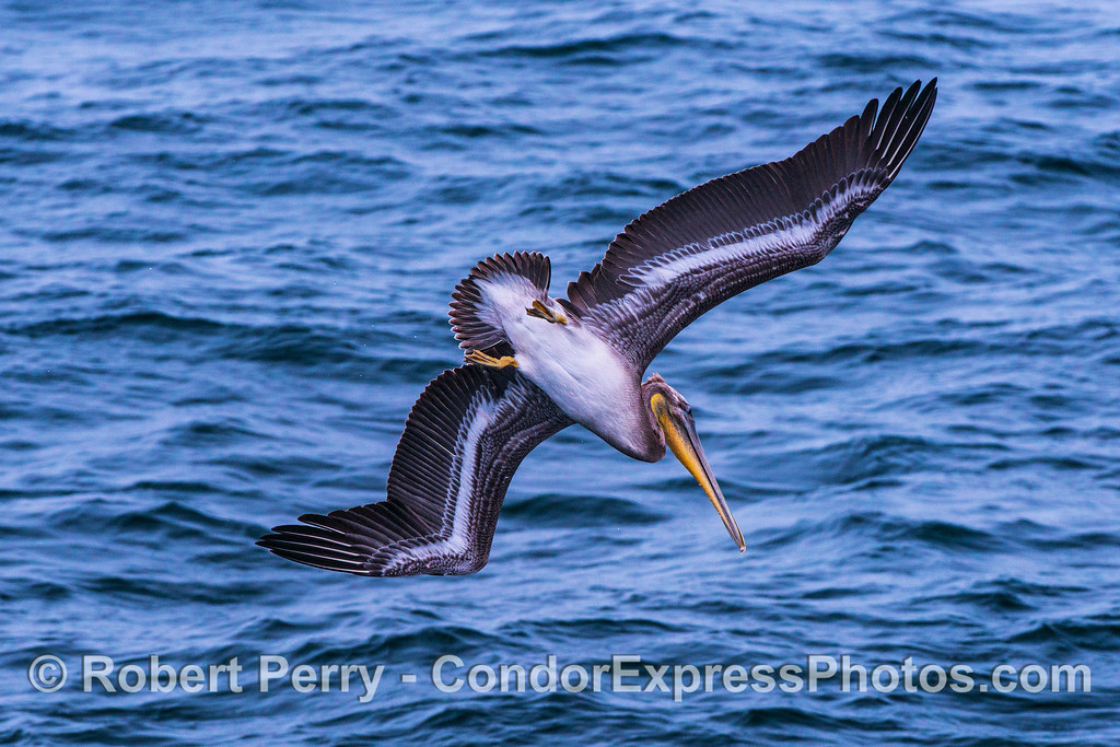 Image 1 of 3 in a row:  a crash-diving pelican.  Pelicans and humpback whales both have gullar pouches they fill with water and fish.