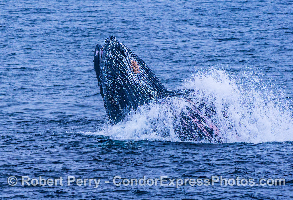 Image 2 of 3 in a row:  Another surface lunge-feeding humpback whale.