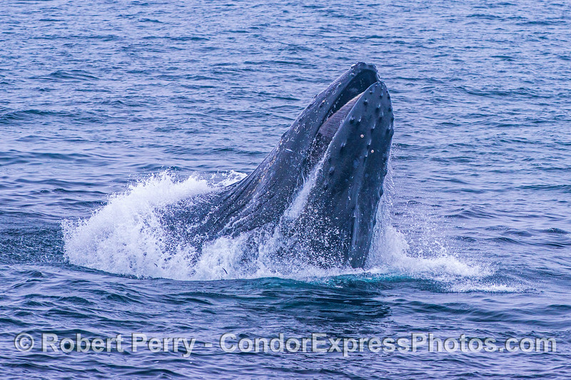 Image 2 of 3 in a row:  a humpback whale feeds on a northern anchovy school through a vertical lunge.
