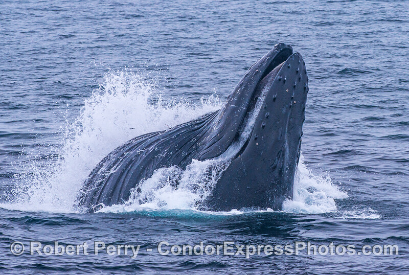 Image 3 of 3 in a row:  a humpback whale feeds on a northern anchovy school through a vertical lunge.  The gullar pouch and ventral blubber grooves are fully-extended with water and fish.  Water is starting to pout out of the mouth through the baleen filter.