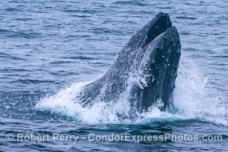 Image 1 of 3 in a row:  a humpback whale feeds on a northern anchovy school through a vertical lunge. Here we see numerous anchovies jumping and spilling out of the mouth of the whale.