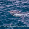 Common dolphins mating.