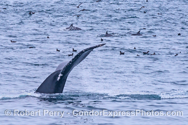Humpback whale tail flukes with common dolphins and sooty shearwaters on an oceanic hot spot.