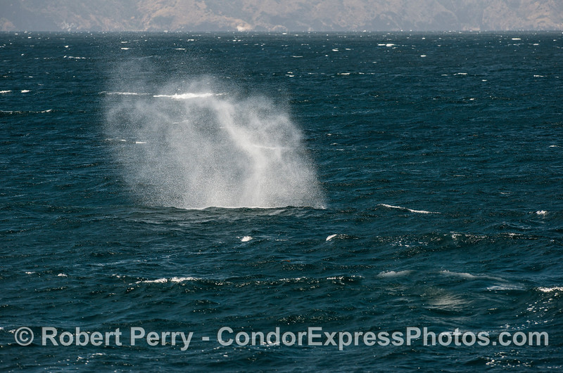 Smoke on the water - Giant spout from a giant blue whale on a breezy day.