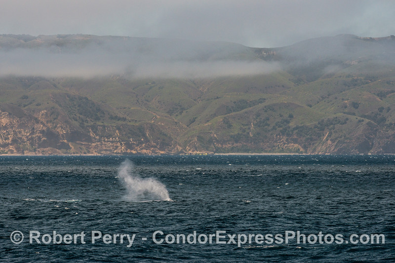 Giant spout from a giant blue whale on a breezy day near Santa Cruz Island (see map below).