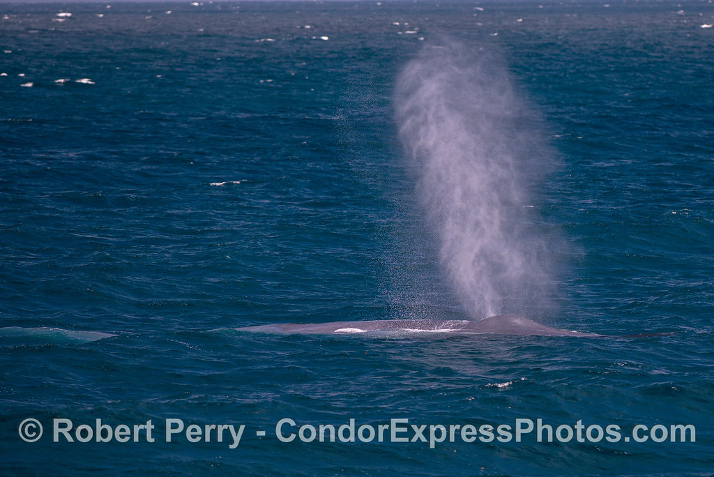 Giant spout from a giant blue whale on a breezy day.