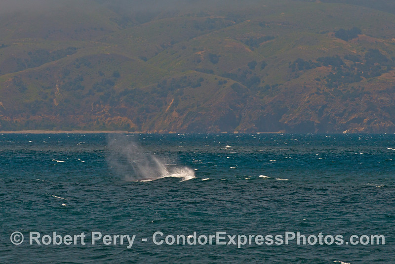 A moderate breeze whips the spout spray into the air from this giant blue whale.