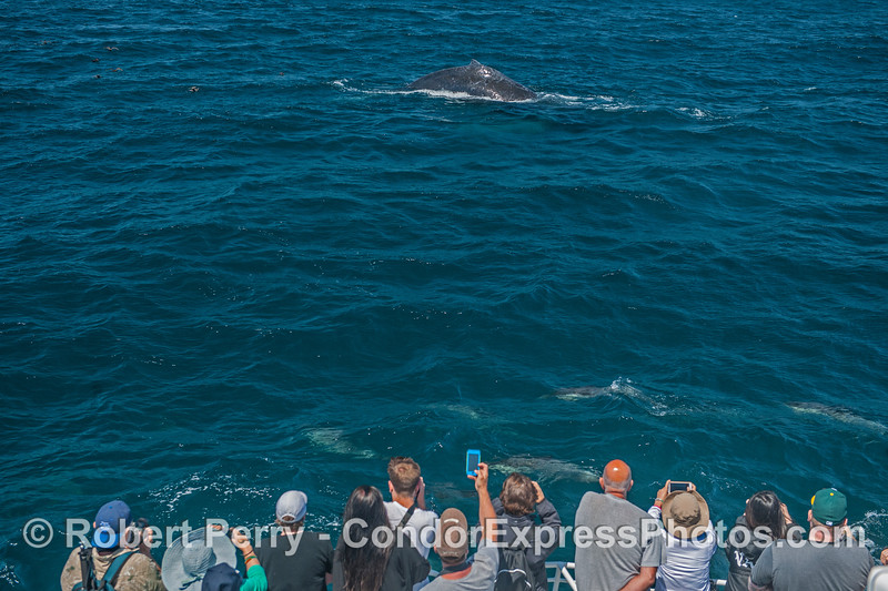 Whale (and dolphin) fans enjoy a pod of common dolphins on the bow as a friendly humpback whale comes over to take a look.