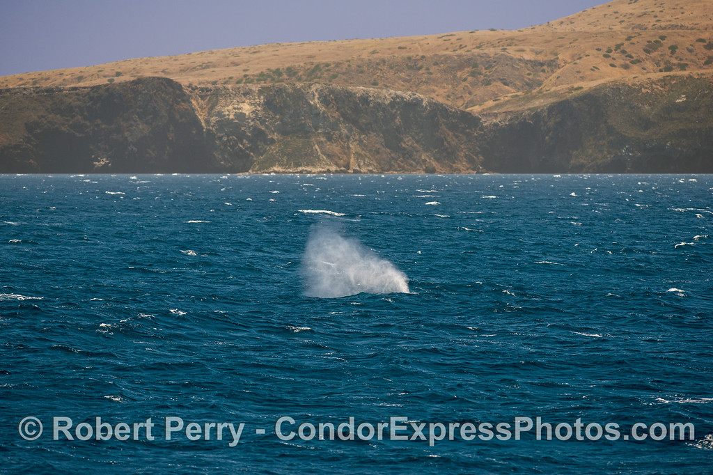 Fire hose water spout at Santa Cruz Island - giant blue whale.