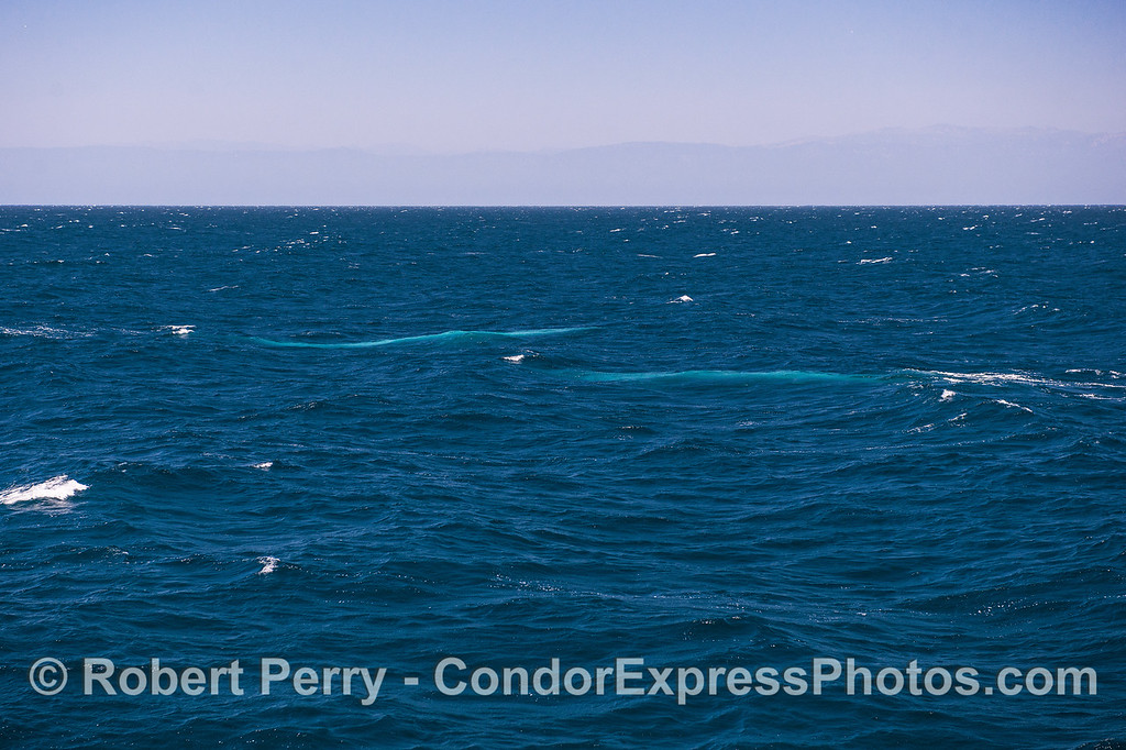 Two blue streaks.  Bright blue shines from beneath the waves as 2 giant blue whales swims by.