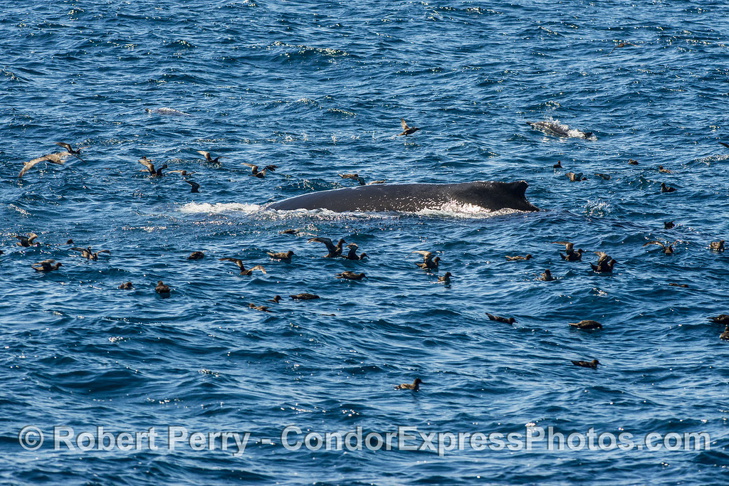 A  humpback whale is shown surrounded by sooty shearwaters.