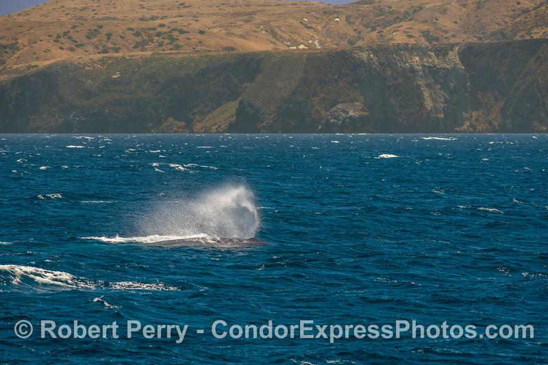 Blue whale in the breeze - Santa Cruz Island.