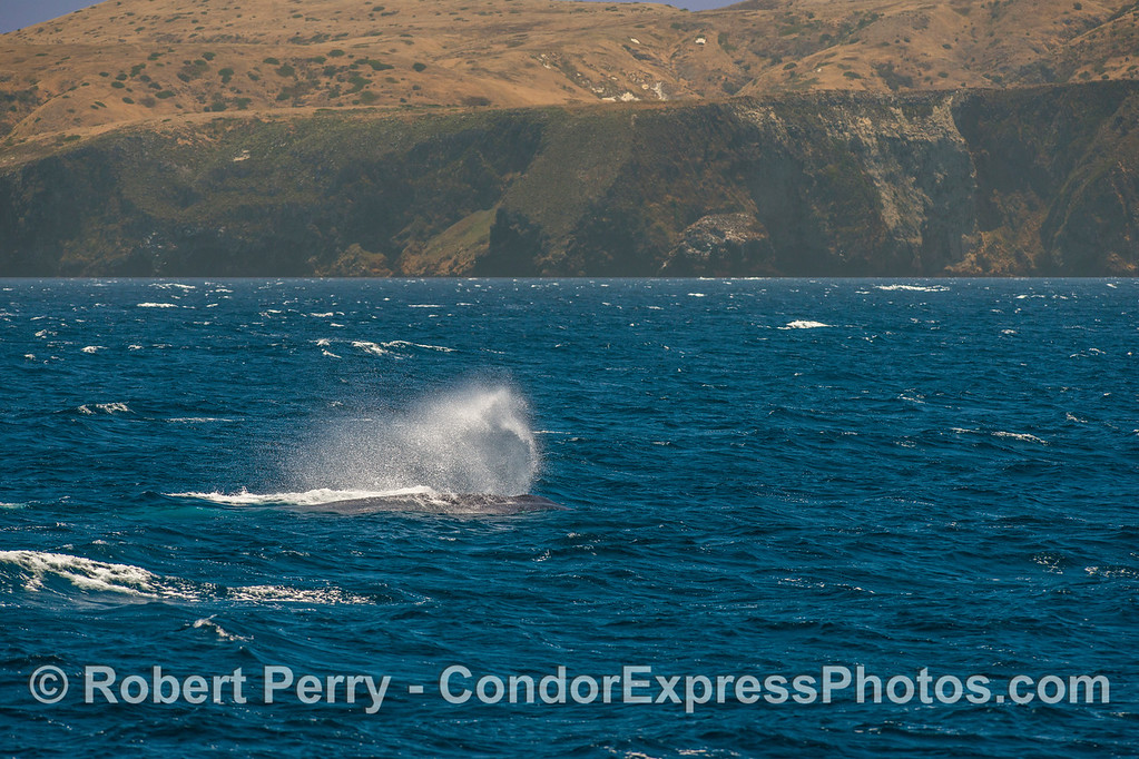 Blue whale in the breeze - Santa Cruz Island.