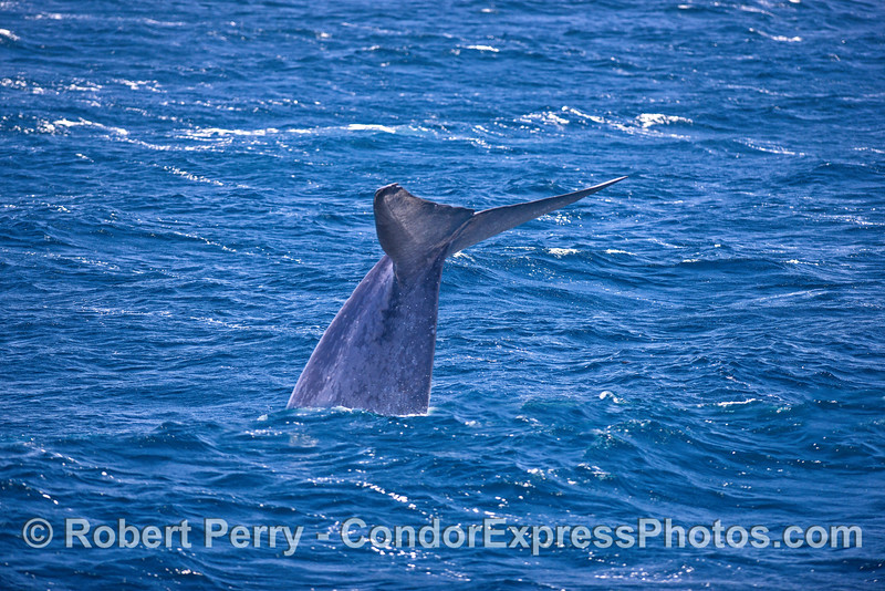 Giant blue whale fluking-up.