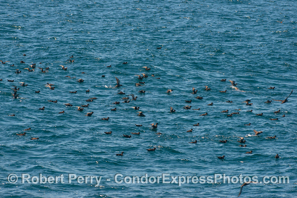 Small part of a large flock of resting sooty shearwaters.