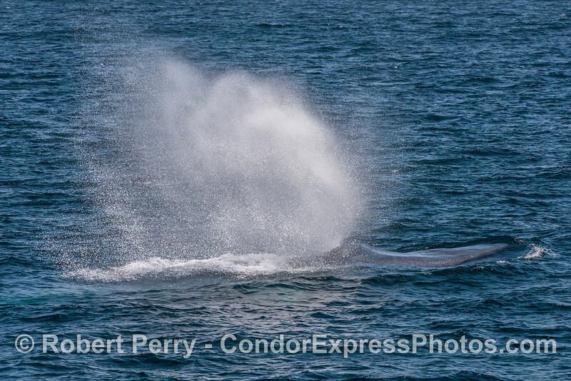Bushy spout spray due to breeze - blue whale