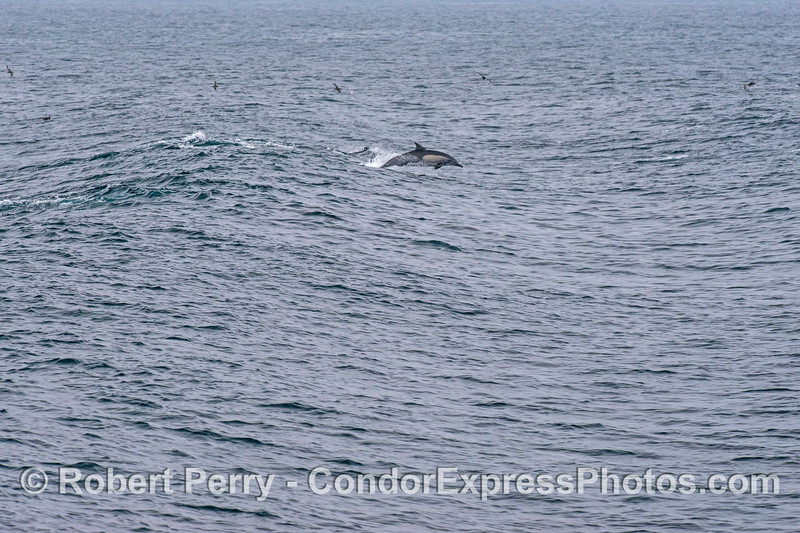 2 of 2:  long-beaked common dolphins surf a wave which is actually the residual wake of a large container cargo ship that passed us by and is now at least a mile away.