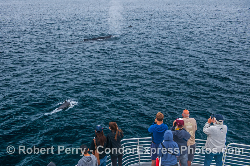 Common dolphins and a friendly humpback.