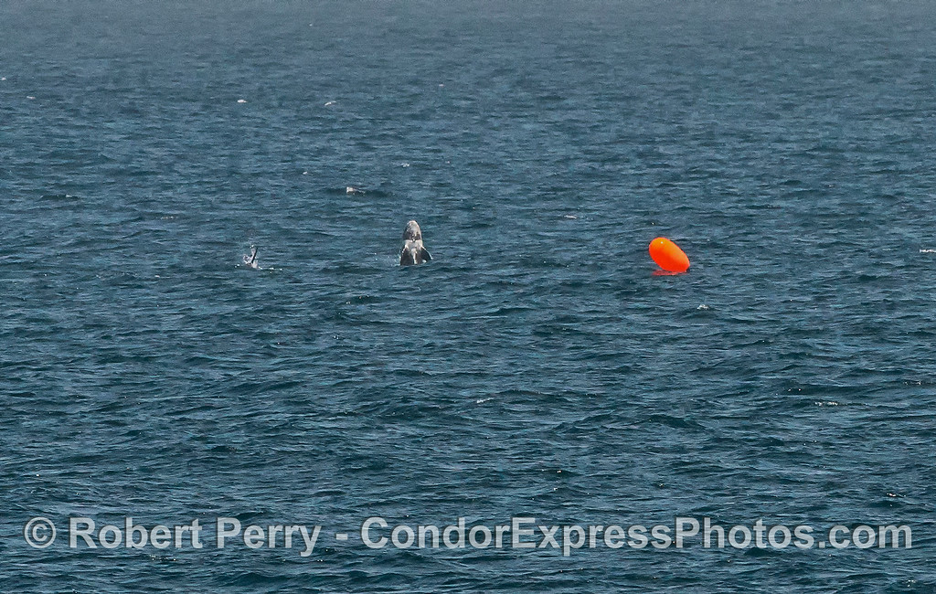 Some random splashing in the distance.  After processing it looks like a juvenile Risso's dolphin playing (?) near a norwegian poly ball gill net marker.