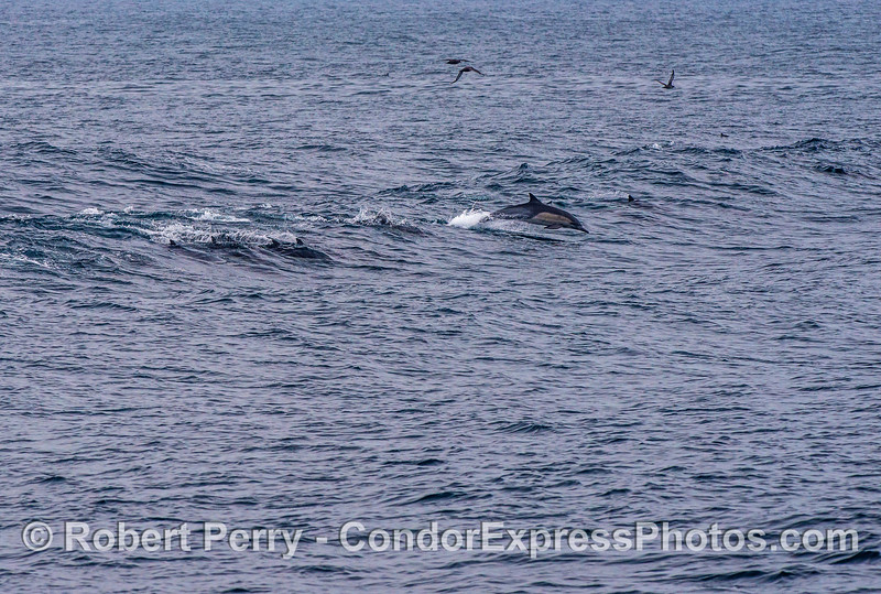 1 of 2:  long-beaked common dolphins surf a wave which is actually the residual wake of a large container cargo ship that passed us by and is now at least a mile away.