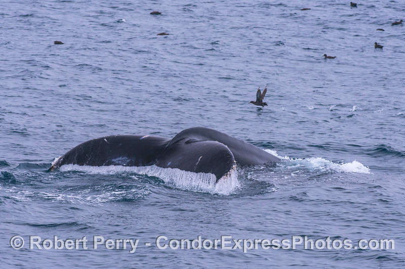 Humpback tail - sooty shearwater runs to clear the decks