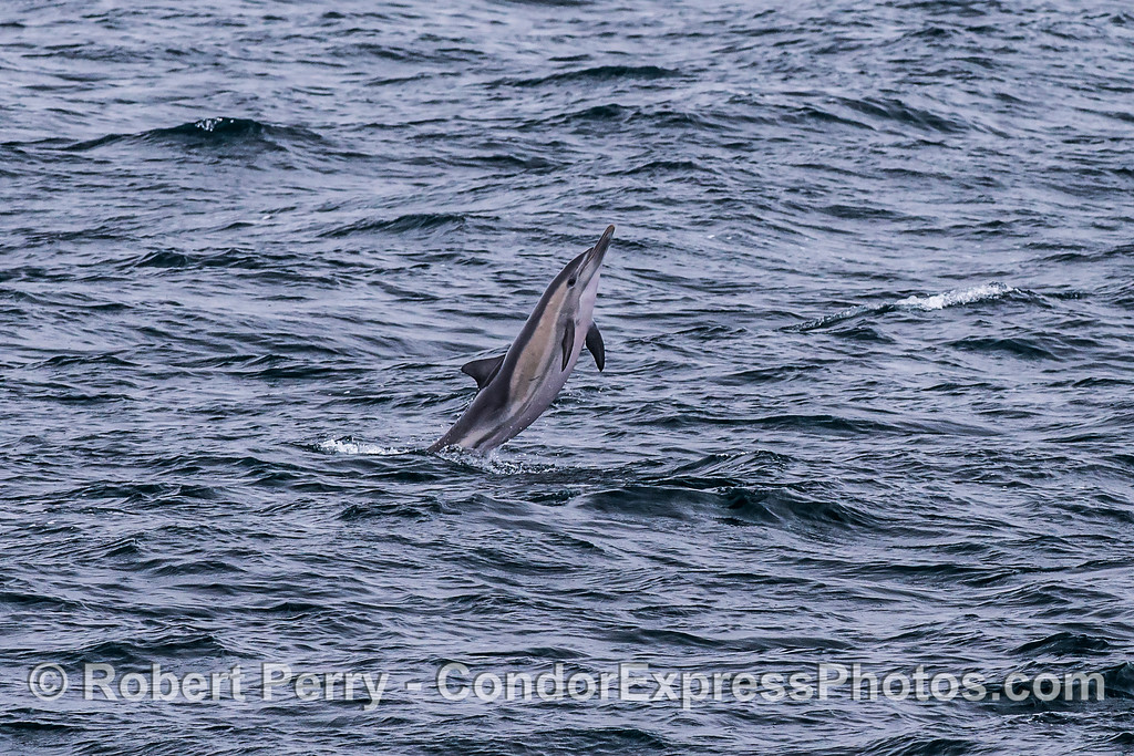 1 of 2:  Tail walking long-beaked common dolphin.