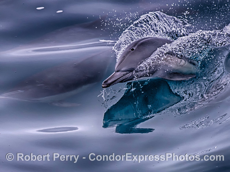 Semi-pseudo-HDR:  Surfing common dolphin.