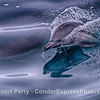 Semi-pseudo-HDR:  Surfing common dolphin.